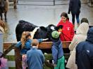 Maine Coast Heritage Trust Aldermere Farm Calf Unveiling Day